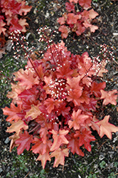 Peach Flambe Coral Bells (Heuchera 'Peach Flambe') at Bartlett's Farm