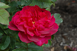 Darcey Bussell Rose (Rosa 'Darcey Bussell') at Bartlett's Farm
