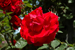 Ramblin' Red Rose (Rosa 'Ramblin' Red') at The Mustard Seed