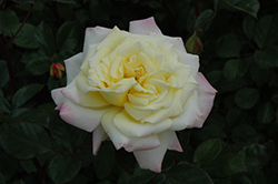 Music Box Rose (Rosa 'BAIbox') at Dundee Nursery