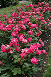 Double Knock Out® Rose (Rosa 'Radtko') at The Mustard Seed