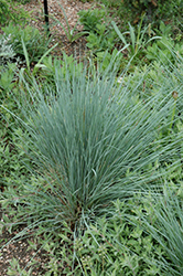Saphirsprudel Blue Oat Grass (Helictotrichon sempervirens 'Saphirsprudel') at Green Haven Garden Centre