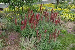 Red Feathers (Echium amoenum) at The Mustard Seed