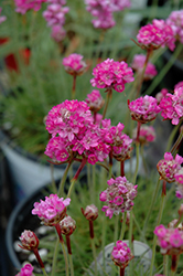 Splendens Sea Thrift (Armeria maritima 'Splendens') at The Mustard Seed