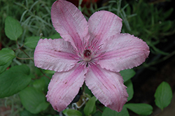 Hagley Hybrid Clematis (Clematis 'Hagley Hybrid') at Green Haven Garden Centre