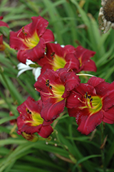 Pardon Me Daylily (Hemerocallis 'Pardon Me') at The Mustard Seed