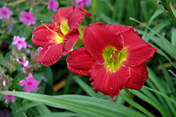 Happy Ever Appster® Red Hot Returns Daylily (Hemerocallis 'Red Hot Returns') at Dundee Nursery