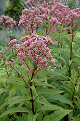 Baby Joe Dwarf Joe Pye Weed (Eupatorium dubium 'Baby Joe') at Bartlett's Farm
