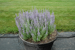 Denim 'n Lace Russian Sage (Perovskia atriplicifolia 'Denim 'n Lace') at Bartlett's Farm