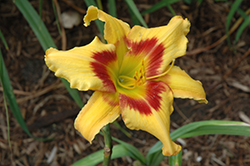 Tiger Swirl Daylily (Hemerocallis 'Tiger Swirl') at Dundee Nursery