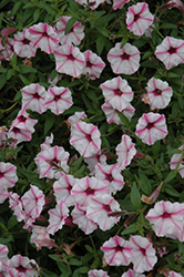 Supertunia® Pink Star Charm Petunia (Petunia 'Supertunia Pink Star Charm') at Dundee Nursery