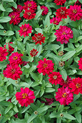 Profusion Double Hot Cherry Zinnia (Zinnia 'Profusion Double Hot Cherry') at The Mustard Seed