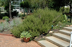 Rosemary (Rosmarinus officinalis) at The Mustard Seed