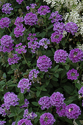 EnduraScape™ Blue Verbena (Verbena 'Balendluim') at Bartlett's Farm