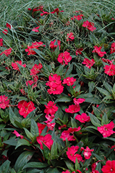 SunPatiens® Spreading Carmine Red New Guinea Impatiens (Impatiens 'SunPatiens Spreading Carmine Red') at Bartlett's Farm