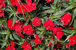 SunPatiens® Compact Red New Guinea Impatiens (Impatiens 'SunPatiens Compact Red') at The Mustard Seed