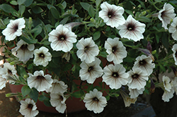 Supertunia® Latte Petunia (Petunia 'Supertunia Latte') at Bachman's Landscaping