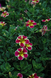 Superbells® Holy Moly! Calibrachoa (Calibrachoa 'Superbells Holy Moly!') at Flagg's Garden Center