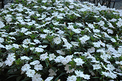 SunPatiens® Vigorous White New Guinea Impatiens (Impatiens 'SunPatiens Vigorous White') at The Mustard Seed