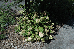 Strawberry Sundae® Hydrangea (Hydrangea paniculata 'Rensun') at Bartlett's Farm