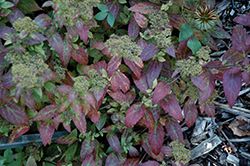 Double Play® Artisan® Spirea (Spiraea japonica 'Galen') at The Mustard Seed