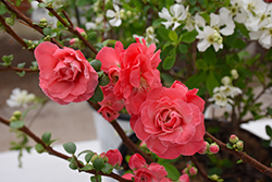 Double Take Pink™ Flowering Quince (Chaenomeles speciosa 'Double Take Pink Storm') at Bartlett's Farm