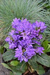 Freya Clustered Bellflower (Campanula glomerata 'Freya') at Canadale Nurseries