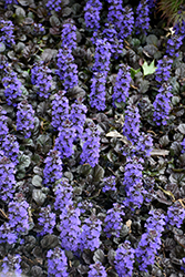 Black Scallop Bugleweed (Ajuga reptans 'Black Scallop') at Dundee Nursery
