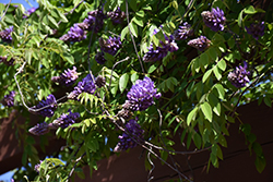 Blue Moon Wisteria (Wisteria macrostachya 'Blue Moon') at The Mustard Seed