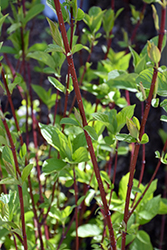 Red-Twig Dogwood (Cornus baileyi) at Bachman's Landscaping