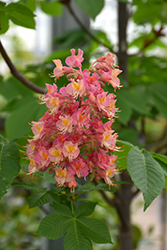 Fort McNair Red Horse Chestnut (Aesculus x carnea 'Fort McNair') at Flagg's Garden Center