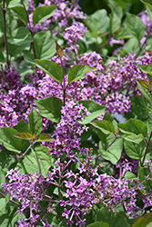 Bloomerang® Dark Purple Lilac (Syringa 'SMSJBP7') at Dundee Nursery