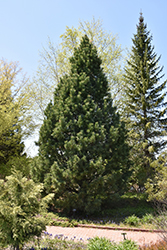 Swiss Stone Pine (Pinus cembra) at The Mustard Seed