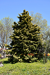 Confucius Hinoki Falsecypress (Chamaecyparis obtusa 'Confucius') at Flagg's Garden Center