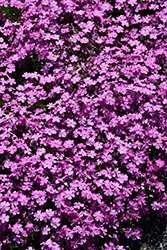 Emerald Pink Moss Phlox (Phlox subulata 'Emerald Pink') at The Mustard Seed