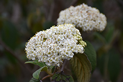 Leatherleaf Viburnum (Viburnum rhytidophyllum) at Flagg's Garden Center