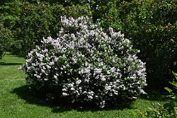 Miss Kim Lilac (Syringa patula 'Miss Kim') at Bartlett's Farm