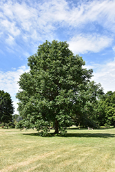 Swamp White Oak (Quercus bicolor) at The Mustard Seed