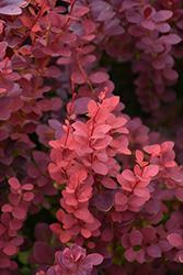 Ruby Carousel Japanese Barberry (Berberis thunbergii 'Bailone') at Arrowhead Nurseries Ltd.