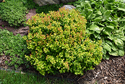Limoncello™ Barberry (Berberis thunbergii 'BailErin') at Dundee Nursery