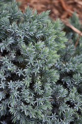 Blue Star Juniper (Juniperus squamata 'Blue Star') at The Mustard Seed