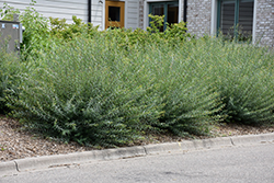 Arctic Blue Leaf Willow (Salix purpurea 'Nana') at Bachman's Landscaping