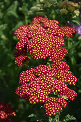 Strawberry Seduction Yarrow (Achillea millefolium 'Strawberry Seduction') at Bartlett's Farm