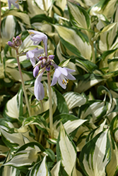 Loyalist Hosta (Hosta 'Loyalist') at Bachman's Landscaping
