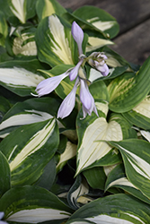 Half And Half Hosta (Hosta 'Half And Half') at Bachman's Landscaping