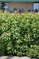 Butterfly Bush Honeysuckle (Diervilla sessilifolia 'Butterfly') at Bachman's Landscaping
