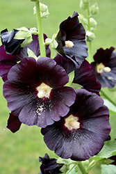 Black Hollyhock (Alcea rosea 'Nigra') at Bartlett's Farm