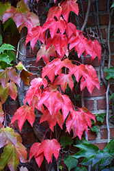 Boston Ivy (Parthenocissus tricuspidata) at Dundee Nursery