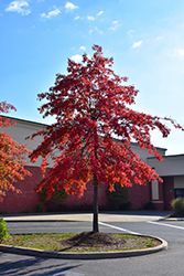 Pin Oak (Quercus palustris) at The Mustard Seed