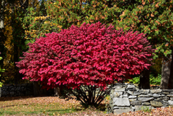 Winged Burning Bush (Euonymus alatus) at Dundee Nursery
